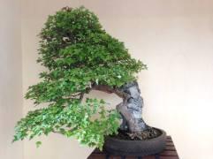 Bonsai stile Su Roccia ( Ishizuki )