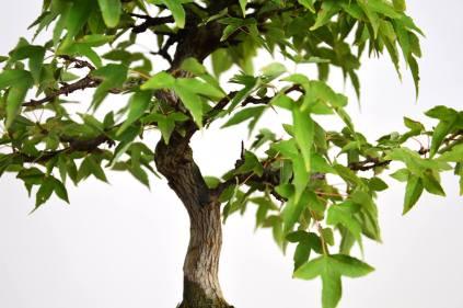 Bonsai Shohin stile Eretto Informale (Moyogi)